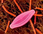 Diatom (Navicula sp.) and Bacillus megaterium, SEM