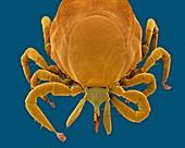 Deer tick (Ixodes scapularis), SEM