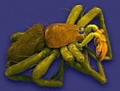 Male sac spider (Anyphaena dixiana), SEM