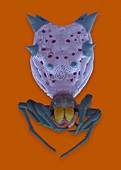 Spined orb weaver (Micrathena gracilis), SEM
