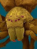 Diving bell spider (Argyroneta aquatica), SEM