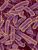 Bacteroides sp. bacterium, SEM