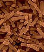 Lactobacillus bulgaricus, yogurt bacterium, SEM