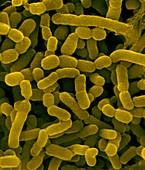 Bovine rumen bacterium, SEM