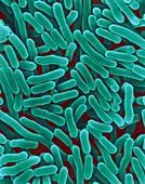 Salmonella enterica, bacterium, SEM