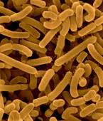 Agrobacterium tumefaciens, SEM
