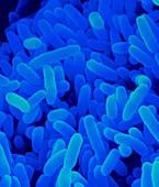 Bacteroides thetaiotaomicron, SEM