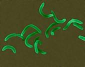 Vibrio cholerae -curved rod prokaryote, SEM