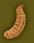 Fly larva, SEM
