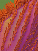 Bromeliad mosquito wing, SEM