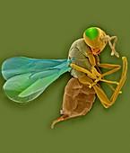 Erythrina gall wasp, SEM