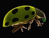 Ladybug beetle, SEM