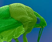 Stink bug head, SEM