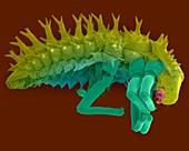 Ladybug larva, SEM