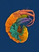 Marine amphipod (Polynesoecetes kekeae), SEM