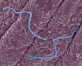 Box jellyfish nematocyst (Carybdea alata), SEM