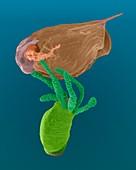 Hydra sp. capturing Daphnia sp., SEM