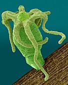 Hydra sp. (Cnidarian), SEM