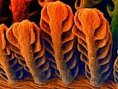 Goby fish gills (Awaous guamensis), SEM