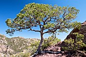 Mexican pinyon pine (Pinus cembroides)
