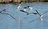 Black skimmers feeding in flight