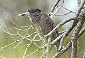 Juvenile black-crowned night heron