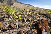 Verode (Kleinia neriifolia) in volcanic landscape