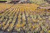 Aloe vera in cultivation, Lanzarote