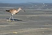 Whimbrel on a beach