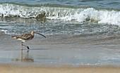 Eurasian curlew on a beach