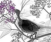 Dove feeding, X-ray