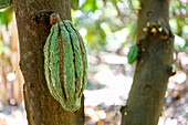 Cocoa fruit growing on a cocoa tree (Theobroma cacao)