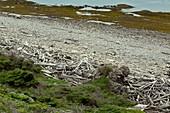Coastal driftwood, Newfoundland, Canada