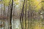Flooded poplar plantation, Greece