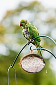 Ring-necked parakeet on a bird feeder