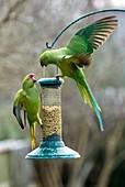 Ring-necked parakeets on a bird feeder