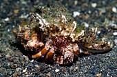 Dardanus hermit crab