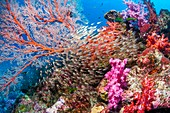 Pygmy sweepers and gorgonian on a reef
