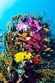 Butterflyfish, goldies and soft corals on a reef