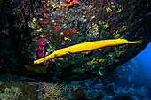 Trumpetfish hunting pygmy sweepers