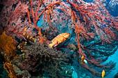 Coral hinds lying in ambush