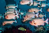 Shadowfin soldierfish