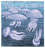 Medusae jellyfish, illustration.