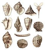 Common sea shells