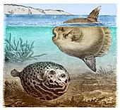 Globefish and Sunfish.