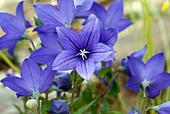 Platycodon grandiflorus 'Astra Blue'