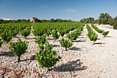 Vineyards on white limestone characterise the famous Muscat de St-Jean, with the ruin of a windmill in the distance