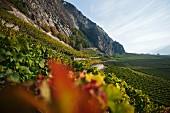 Weinberge in Leytron, Kanton Wallis, Schweiz