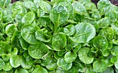 Lambs lettuce with water droplets