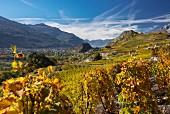 Rebberge von St. Leonard und die Hügel von Sion zwischen Valere und Tourbillon